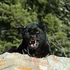 Black Leopard snarl