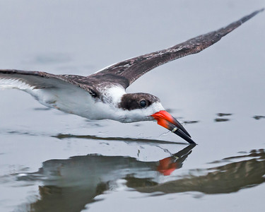 Black Skimmer with minnow.