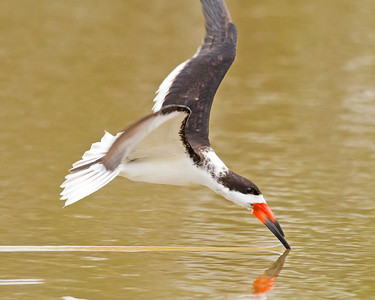 Black skimmer getting ready to pull out and make it's turn.