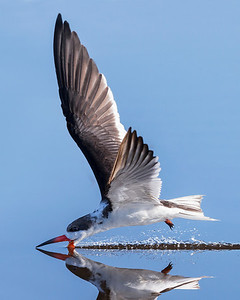 Black Skimmer Captured in Merritt Island Wildlife Refuge