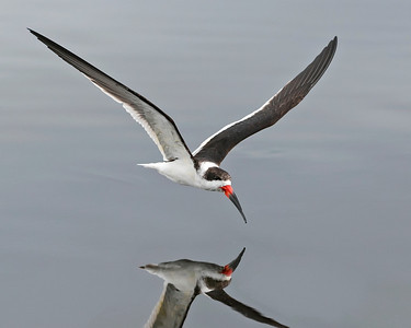 Black Skimmer,  I have become very tempted to stop and photograph these birds everytime I see one skimming for food.  Merritt Island Wildlife Refuge.
