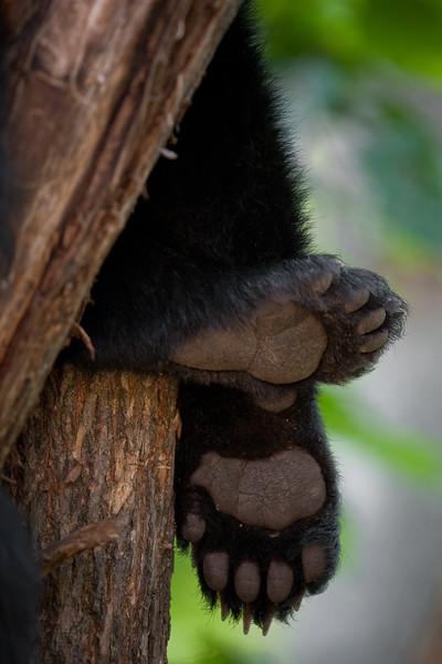 Black Bear Cub Paws