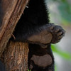 Black Bear Cub Paws