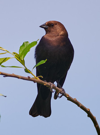 Brownheaded Cowbird