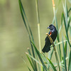 Red Winged Black Bird at Carney Marsh in Ankeny, Iowa