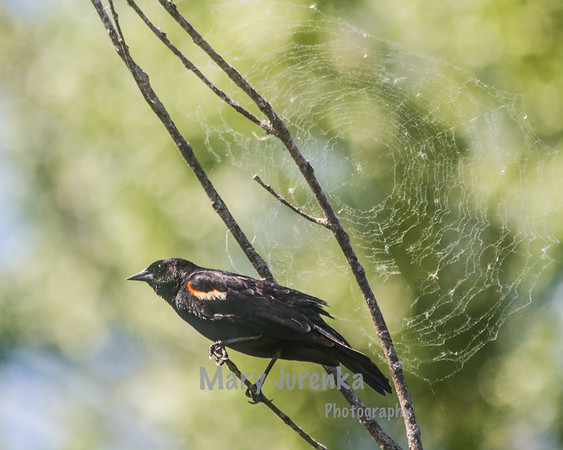 This red-winged blackbird was photographed in marshland in central Missouri as he was photobombing a spider web.