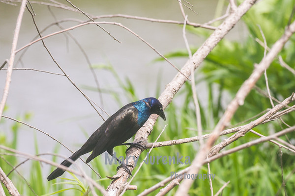 Common Grackle in Iowa