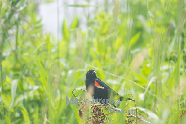 Red Winged Blackbird Male Guarding His Territory