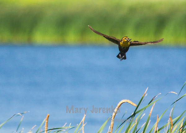 This Yellow Headed Blackbird female was photographed at Long Lake Nature Preserve in North Dakota.