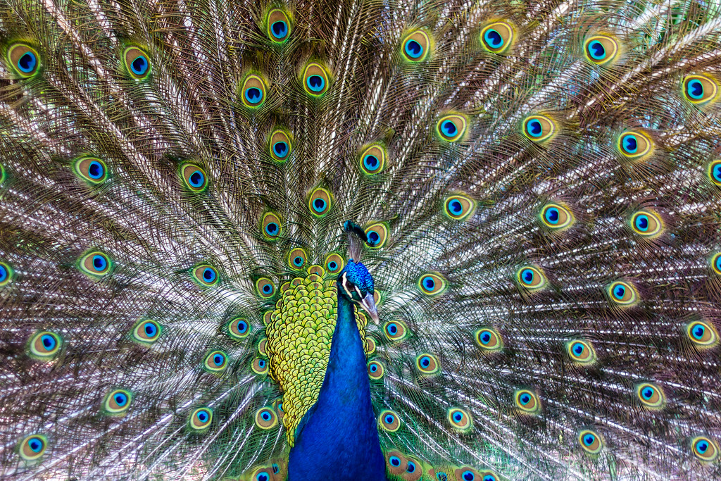 A colourful Peacock showing off @ Blackbutt Reserve