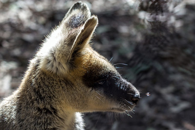 Wallaby @ Blackbutt Reserve, watching a mosquito