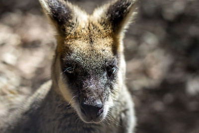 Wallaby @ Blackbutt Reserve