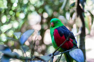 Red-winged Parrot, Blackbutt Reserve