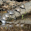 All the little turtles all in a row.