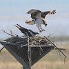 Lots of osprey activity during the two days we were there.