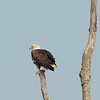 Lone eagle perched on a dead tree. We waited about 20 minutes are more for it to take off. When he did I missed the shot and he flew in the wrong direction.