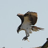 In for a landing. This has got to be the right time of year to view these birds. I bet we saw at least a dozen or more.