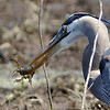 You can see that the heron has catch quite a big boy there.