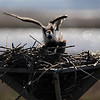 Lots like the male osprey wants to have some fun.