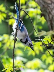 Blue Jay April 2019-4567