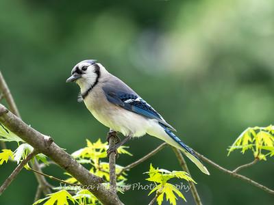Blue Jay April 2019-4552