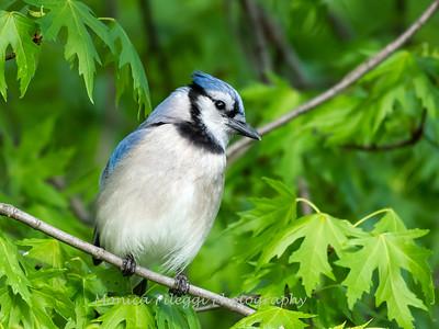 Blue Jay April 2019-5058