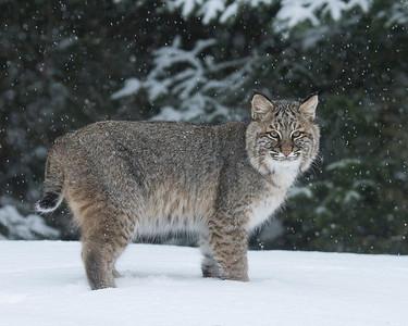 Bobcat 001