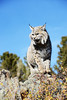 Bobcat on the rocks growling