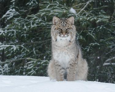 Bobcat 010