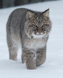 Bobcat 006