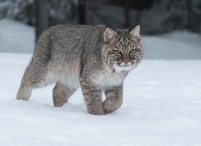 Bobcat 004