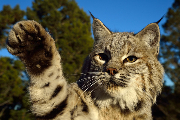 bobcat giving high 5