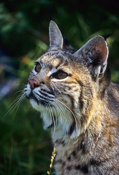 The evening sun lightens the bobcats fur.  He is enjoying the warm light.