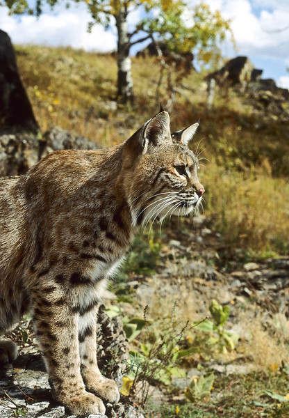 This mother bobcat keeps an eye on the horizon for possible danger.  She is living in a rocky outcrop and must be aware of possible predators.