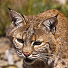 This bobcat was found in the dry, harsh terrain of Wyoming.  Note the tuffs of black hair on her ears.  They are similar to the Canadian Lynx, but the bobcat have lighter coat of fur.