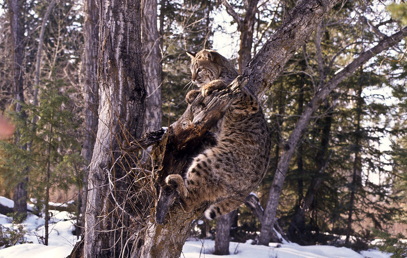 Bobcats feel very much at home at higher elevations and being a cat, climb very well.  On this sunny snowy morning, this anxious bobcat needs a better view.  Note the wild, forested habitat.