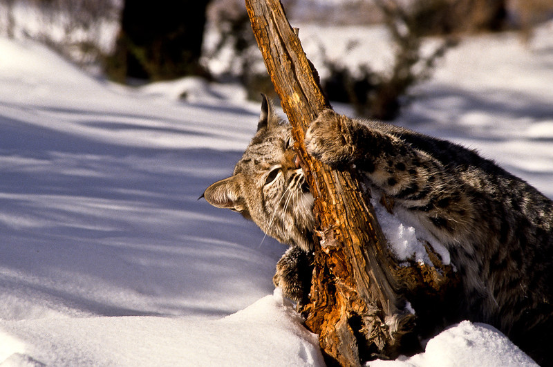 A playful moment as a young bobcat attacks an old tree limb.  We all need toys.