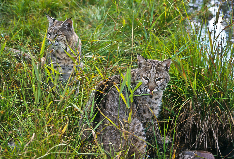These are two young bobcats playing by a stream.  This is one of their more quiet moments.