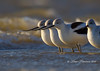 Avocets lined up in the wind