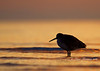 Willet at sunrise