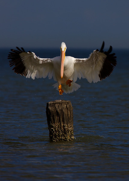 White Pelican coming in for a landing
