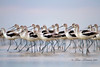 Avocets from Bolivar