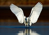 Snowy egret fishing with wings spread.  This photo won the grand prize at the Galveston Featherfest photo contest in 2010.