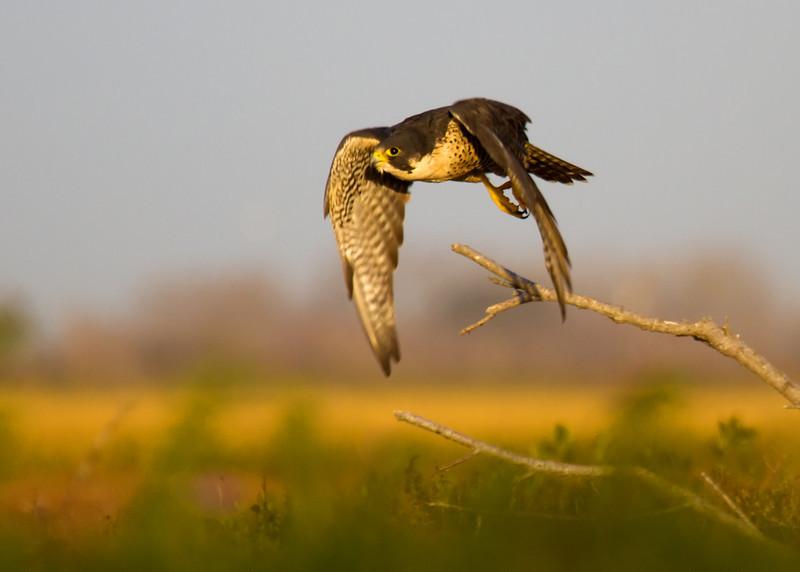 Falcon at sunrise