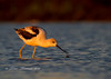 Avocet in morning light