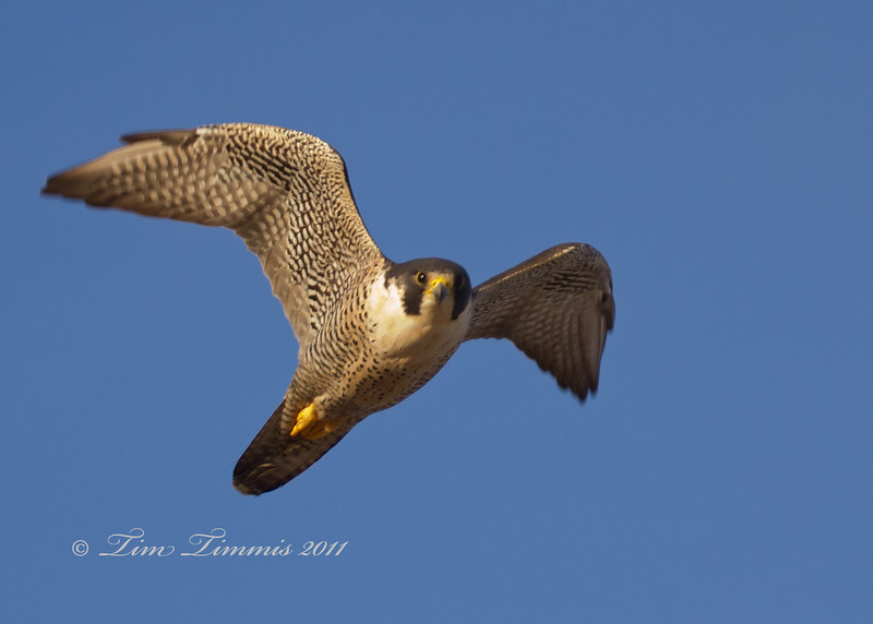Peregrine Falcon at Bolivar Flats