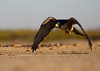 Peregrine Falcon taking off at Bolivar Flats