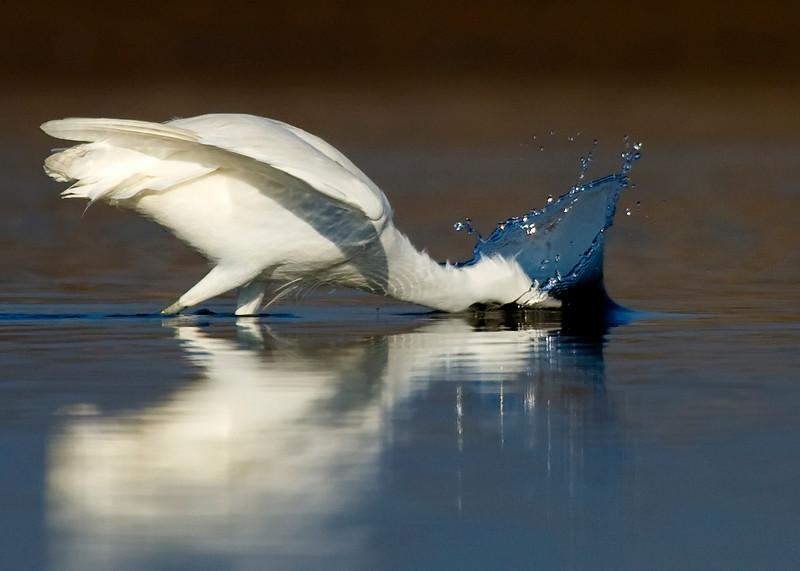 Snowy Egret diving for breakfast
