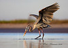 Great Blue Heron catching a fish.  Taken while lying on a sand bar with my Canon7D and 100-400 lens on a ground pod.