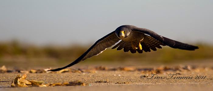 Peregrine Falcon taking off at Bolivar Flats